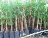 Giá trị kinh tế của cây tầm vông trên vùng đất hạn