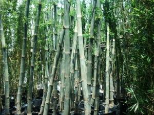 Giới thiệu cây tầm vông